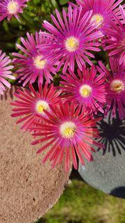 1 lila-violette großblütige Mittagsblume Delosperma