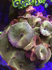 Meerwasser Korallen Scheibenanemonen