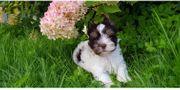 Yorkshire Terrier Welpe Biro Rüde