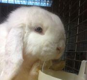 Zwergwidder Kaninchen weiß blau Auge