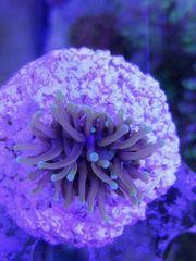 Euphyllia golden torch Korallen Meerwasser