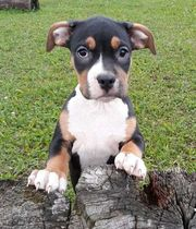 Tricolor American Staffordshire Terrier