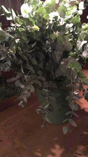 Große Menge Eukalyptus Bund