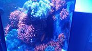 Kupferanemonen Meerwasser Aquarium