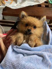 Pomeranianwelpe sucht neues Zuhause