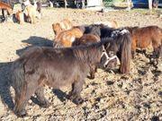 Mehrere kinderliebe Ponys zu verkaufen