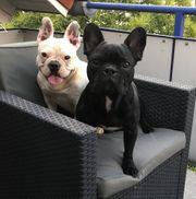 französische Bulldoggen Welpen älter als