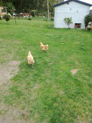 4 Hennen zu