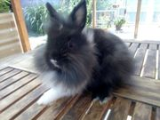 tolle Farben Zwerg Kaninchen auch