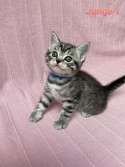 BKH Whiskas Kitten abgabebereit