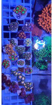 zoas Meerwasser Korallen lps sps