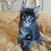 Schöne Maine Coon Kätzchen für