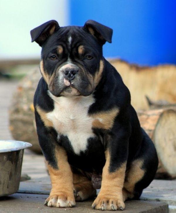 American Bully Pocket Rude In Lalendorf Hunde Kaufen Und