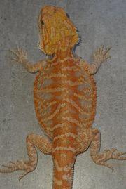 hypo Leatherback het Translucent 66