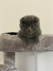 Süßer Britisch Kurzhaar BKH Kitten
