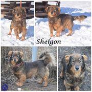 Shelgon kleiner Rüde auf Pflegestelle