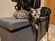Bengal - BKH - Mix Kitten