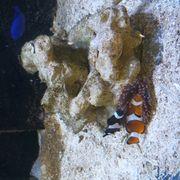 Clownfische aus Aqariumauflösung Meerwasser