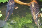 Schöne Koi-Karpfen 40-50cm groß aus
