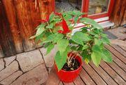 Zimmerpflanze - Weihnachtsstern mit Übertopf Selbstabholer
