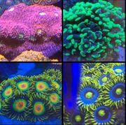 Korallen Meerwasser Euphyllia Zoanthus Chalice