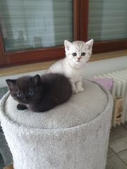 2 Bkh kitten suchen Dosenöffner