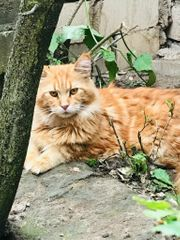 Reinrassiger Maine Coon Kater 1