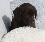 Wunderschöne Labrador Welpchen choco black