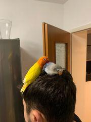 Pfirsichköpfchen agaporniden papagei