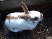 Zwergkaninchen, Kaninchen, Hasen