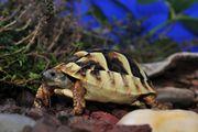 Griechische Land-Schildkröte Thb Nachzucht 2018
