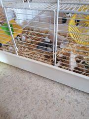 Hamster Hamsterkäfig dsungarischer Zwerghamster Männchen