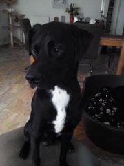 Suche Labrador oder Retriever Mix