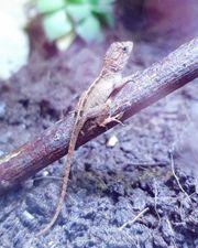Anolis Leguan Cybotes Weibchen