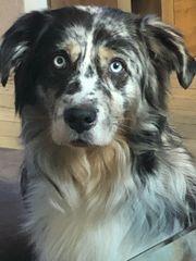 Deckrüde Australian Shepherd ASCA For