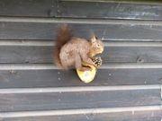 Schwäbisches Eichhörnchen -Echt - ausgestopfte tiere-Dekoration-Sammlerstücke-