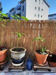 Avocado Pflanzen mit Topf