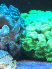 Meerwasser Ableger Koralle