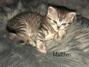 BKH Kitten Black Golden Tabby