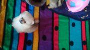 Pomeranian Zwergspitz Teddyface Hündin Endgewicht