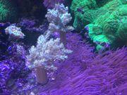 Capnella imbricata Bäumchenweichkoralle Keniabäumchen Meerwasser