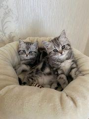 Traumhafte Reinrassige BKH Kitten Whiskas
