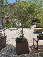 Olivenbaum dm 6 cm Stamm