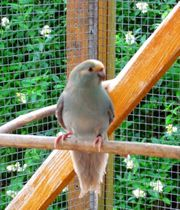 Ziegensittiche nestjung und zuchtreif - Sittiche -