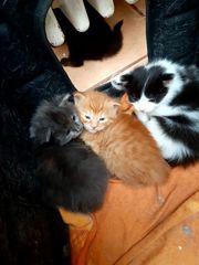 Süße reinrassige Maine coon Kitten