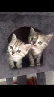2 süße BKH Kitten suchen