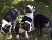 Französische Bulldoggen zu verkaufen