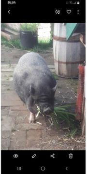 Zwei Minischweine suchen dringendst einen