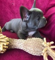 Französische Bulldogge Welpen suchen neues