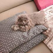 Kleine BLH Fold Katze kitte